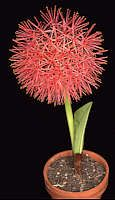 Scadoxus multiflorus  Rafinesque 1836 (Blood Lily) Syn. Heamanthus multiflorus This is the best known Scadoxus and widely available through the horticultural trade. Native to Eastern Southern Africa. The inflorescence is a spectacular spherical cluster of many scarlet flowers with narrow petals and long stamens. The flowers are pollinated by large butterflies.