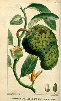 Corossolier a fruit herisse. Flore médicale des Antilles ct.5 Paris :Pichard,1821-1829. Biodiversitylibrary. Biodivlibrary. BHL. Biodiversity Heritage Library
