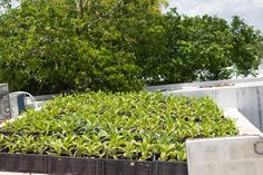 ¿Qué les parece este techo verde diseñado por nosotros? Utilizamos una planta llamada Callisia Fragans que es una planta medicinal abundante en Yucatán, muchos no lo saben pero en Rusia la utilizan para muchos padecimientos desde diabetes, aparato circulatorio (presión alta de la sangre, arteriosclerosis, várices) pues fortalece y limpia los vasos sanguíneos. También se emplea para remediar diversos problemas del aparato digestivo.