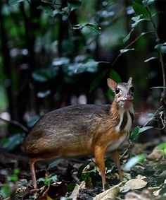 The Lesser mouse-deer or Chevrotain is the smallest hoofed mammal in the world. They are shy and secretive forest dwelling relative of the deer and are rarely seen. Unlike deer, the males have no. Dumb Animals, Unusual Animals, Rare Animals, Animals And Pets, Types Of Animals, Strange Animals, Beautiful Creatures, Animals Beautiful, Mouse Deer