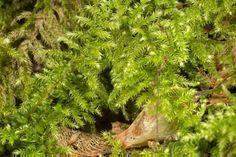 """Ctenidium molluscum """"comb moss"""""""