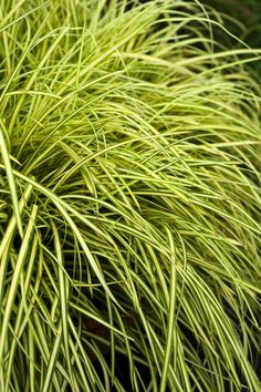 Rare, unusual, exciting plants delivered straight to your door with our No Quibble Guarantee. Small Garden Inspiration, Ornamental Grasses, Shade Garden, Evergreen, Perennials, Garden Design, Bloom, Herbs, Boden