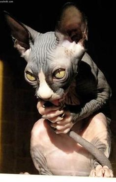 19 ideas cats sphynx scary for 2019 Funny Cats And Dogs, Cats And Kittens, Gatos Cool, Scary Cat, Creepy, Sphinx Cat, Funny Cat Photos, Tier Fotos, Sphynx