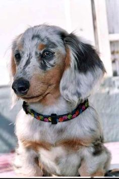 Top 5 Most Loyal Dog Breeds of All times - what a beautiful example of a dapple long-haired dachshund! Dapple Dachshund, Dachshund Puppies, Weenie Dogs, Dachshund Love, Cute Puppies, Cute Dogs, Dogs And Puppies, Daschund, Long Haired Dachshund
