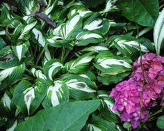 Herbaceous Plants, this one is a Curly Varigated Hosta