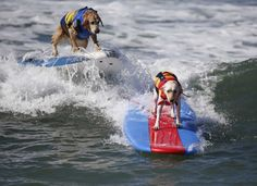 Dogs compete at the 6th Annual Surf City surf dog contest in Huntington Beach, California September 28, 2014. (Lucy Nicholson/Reuters)