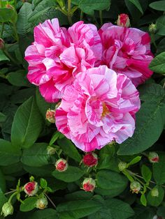 Rosa Mundi (Rosa gallica 'Versicolor') | Striped roses