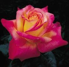 'Love and Peace' Hybrid Tea Rose