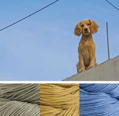 Happy Colorway Wednesday! Today we're featuring Blue Sky Alpacas Organic Skinny Cotton, which is spun from 100% certified organic cotton. Our palette features colors #314 Gravel, #307 Maize, and #315 Blue Bell, and it is inspired by this photo of man's best friend taken by Chad Niemeyer.