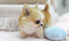 teacup chihuahua puppy...oh my gosh, it's so tiny!