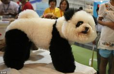 I want a Bichon Frise so he can be my panda year round. <3