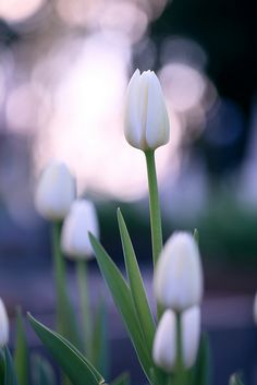 prettylittleflower:    white tulip. by cate♪ on Flickr.