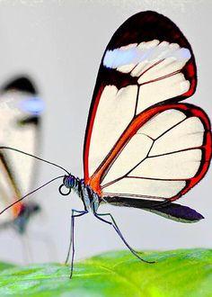 Glasswinged butterfly by Gianfranco Barbieri