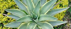 10 Sementes Suculenta Agave Mix Cactos Flor P/ Mudas Planta - R$ 9,90 em Mercado Livre