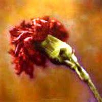 Xtoriasdacarmita: O cravo vermelho