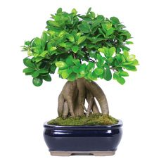 | Gensing Grafted Ficus Medium