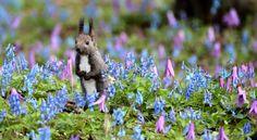青色のエゾエンゴサクやピンク色のカタクリの花の群落の中のエゾリス=1日午前、北海道浦臼町、山本裕之撮影