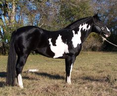 colorful pictures of draught horses   Horse Breeds - American Paint Horse / horse breeds list