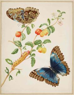 Branch of west Indian cherry with Achilles morpho butterfly (1702-03)