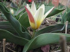 Törpe Tulipán. Plants, Plant, Planets