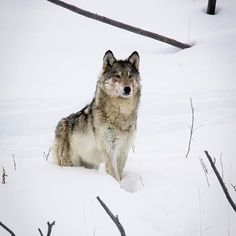 The Legend of the Lamar Valley 06 YNP 832-F shared by Wolf Den and Wolfwatcher