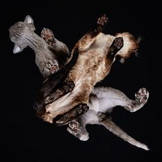 Fashion photographer Andrius Burba has a novel take on photographing these   fabulous felines at the International Cat Show in Vilnius, Lithuania - they   are all seen from underneath !