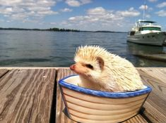 Toot toot I'm a tugboat!    Aquatic Adventure Tour Guide | 30 Lucrative Occupations For Hedgehogs