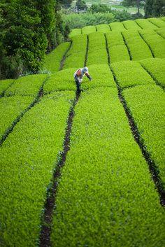 Green tea plantation, Shizuoka, Japan