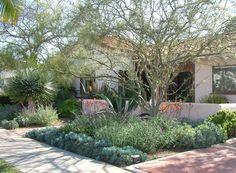 Dappled shade garden in San Diego County featuring Dracaena draco, Parksonia aculeata (Mexican Palo Verde tree), Agave americana, Aeonium and Aloe