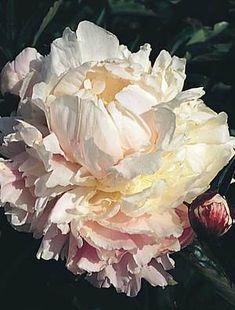 Peony 'Kelway's Glorious' - heady scent