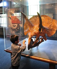 Triceratops | Harvard Museum of Natural History