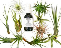 12 pcs Tillandsia Air Plant Lot in Gift BOX! / Kit includes 11 Plants and 1 bottle of Organic Air Plant Fertilizer Food. What Are Air Plants, Air Plants Care, Best Air Purifying Plants, Fertilizer For Plants, Best Indoor Plants, Indoor Planters, String Garden, Organic Plants, Organic Gardening