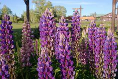 Lupines are attractive and spiky, reaching 1 to 4 feet in height and add color and texture to the back of a flowerbed. This article has information on planting lupines in this garden.