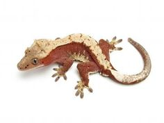 Red harlequin Theurbangecko Lizards, Reptiles, Crested Gecko, Geckos, Bearded Dragon, Noodles, Dragons, Tropical, Urban