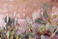 Cactus on a pastel pink wall Murs Pastel, Compost, Plants Are Friends, Cactus Y Suculentas, Desert Rose, Back To Nature, Cacti And Succulents, Dusty Pink, Planting Flowers