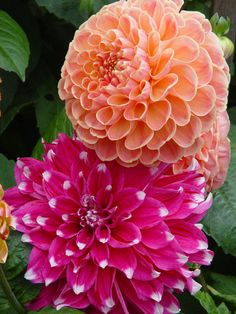 Dahlia 'Skipley Spot' and 'Peach'