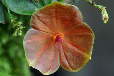 Lepanthes Telipogoniflora | Lepanthes telipogoniflora