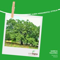 Quercia Vallonea a Tricase #trees #italy