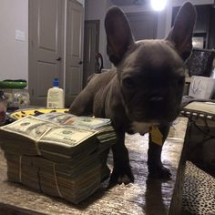 """""""Best guard dog hands down @sircheeseburger_thefrenchie"""""""