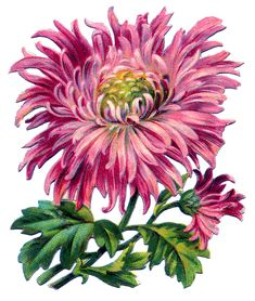 Vintage Image - Pink Chrysanthemum - The Graphics Fairy
