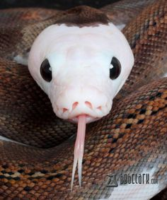 reptilefacts: Pied Reticulated Python [x]