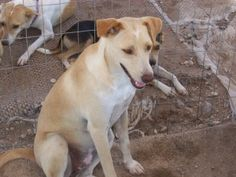 134 is an adoptable Labrador Retriever Dog in Mission, TX.   Please fill out an online application at: http//forgotten-friends.org Contact us at 956-605-7004 Our adoption fee includes the first set of...