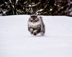 Siberian Forest Cats Rescued by A Couple, Now Play With Snow for the First Time. Siberian rescue cats from Puerto del Rosario to Germany