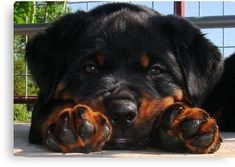 Cute Rottweiler Puppy Resting Head Between Paws Canvas Print #rottweilerpuppy