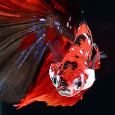 Photographer Visarute Angkatavanich gets extremely close with extraordinary domestic fish, who belongs to the Siamese fighting fish – the goldfish breed. The Bangkok photographer catches thrilling shots of these creatures from unusual angle. The pictures are done in crystal pure aquariums and … Colorful Fish, Tropical Fish, Beautiful Fish, Animals Beautiful, Koi Betta, Beta Fish, Unusual Animals, Unusual Pets, Siamese Fighting Fish