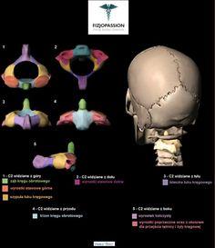 Anatomia kręgu obrotowego (Axis) Anatomy of Axis Anatomia z Fizjopassion! Anatomy with Fizjopassion