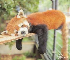 たれマキ ハルマキ #市川市動植物園 #ichikawazoo  #レッサーパンダ #redpanda Pretty Animals, Animals Beautiful, Cute Animals, Fluffy Animals, Animals And Pets, Baby Animals, Cute Panda Drawing, Panda Love, Men Wear