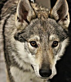 Ceskoslovensky Vlcak~Pretty wild looking dog.