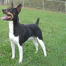 Rat Terrier Puppies, Rat Terrier puppies for sale, Rat Terrier Breeders, Rat Terrier,National Rat Terrier Association
