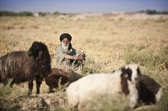 An Afgan sheep herder takes a break with his sheep in Southern Afghanistan.